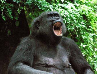 Gorilla-Bronx-Zoo 308-C